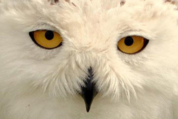 A white owl with yellow eyes