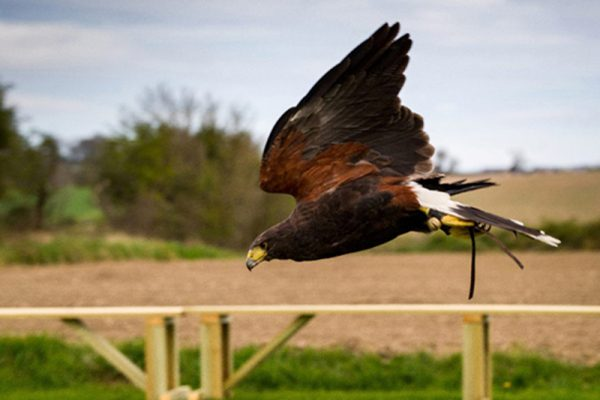 Bird flying mid air during Falconry Display